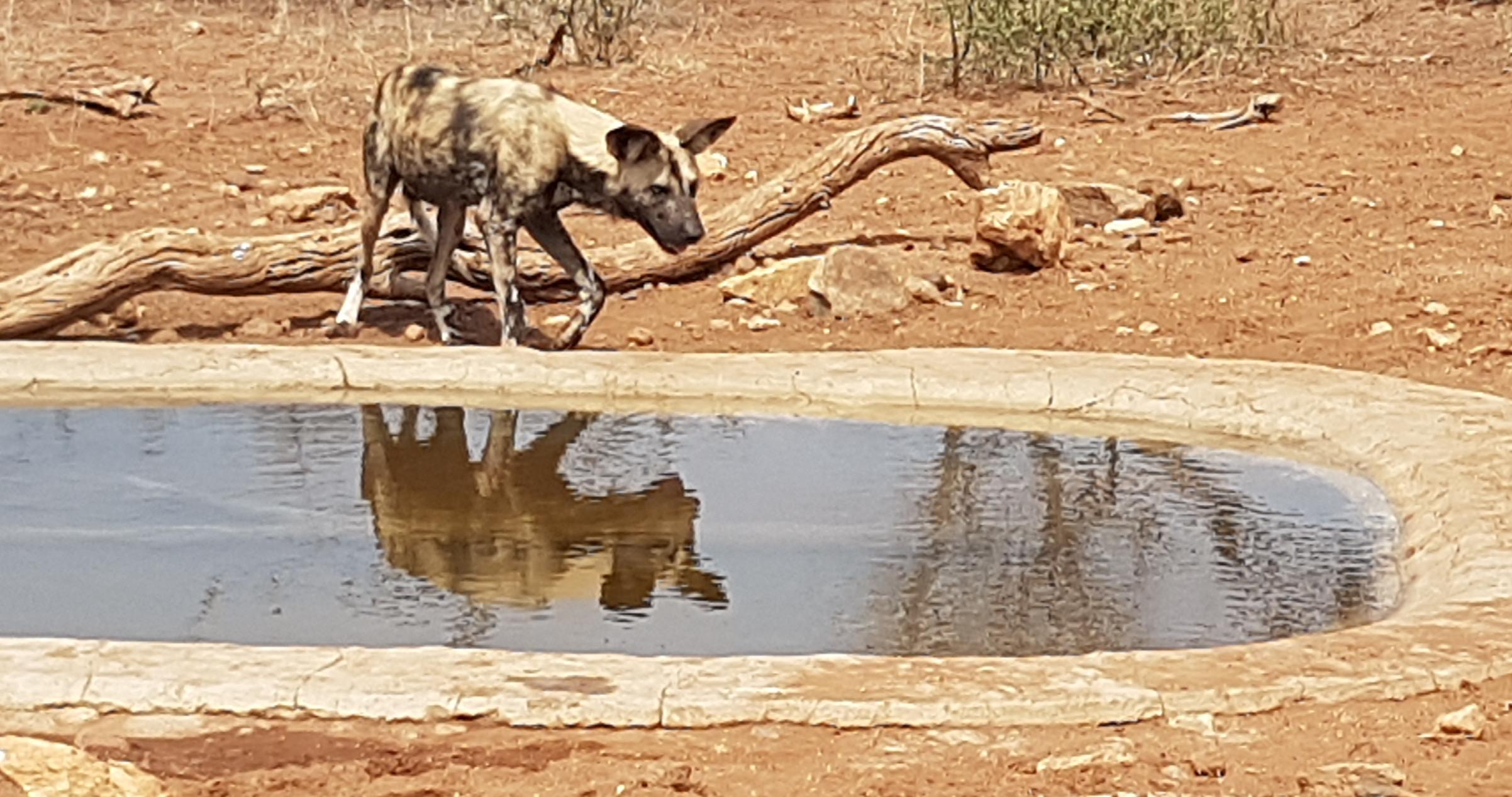 Wildhunde am Wasserloch - Auf Patrouille im Balule Nature Reserve in Südafrika auf Freiwilligen Arbeit